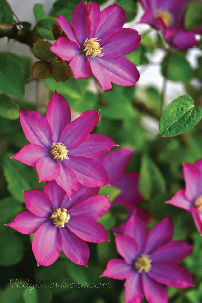 Post image for A Magenta Spring-Flowering Clematis