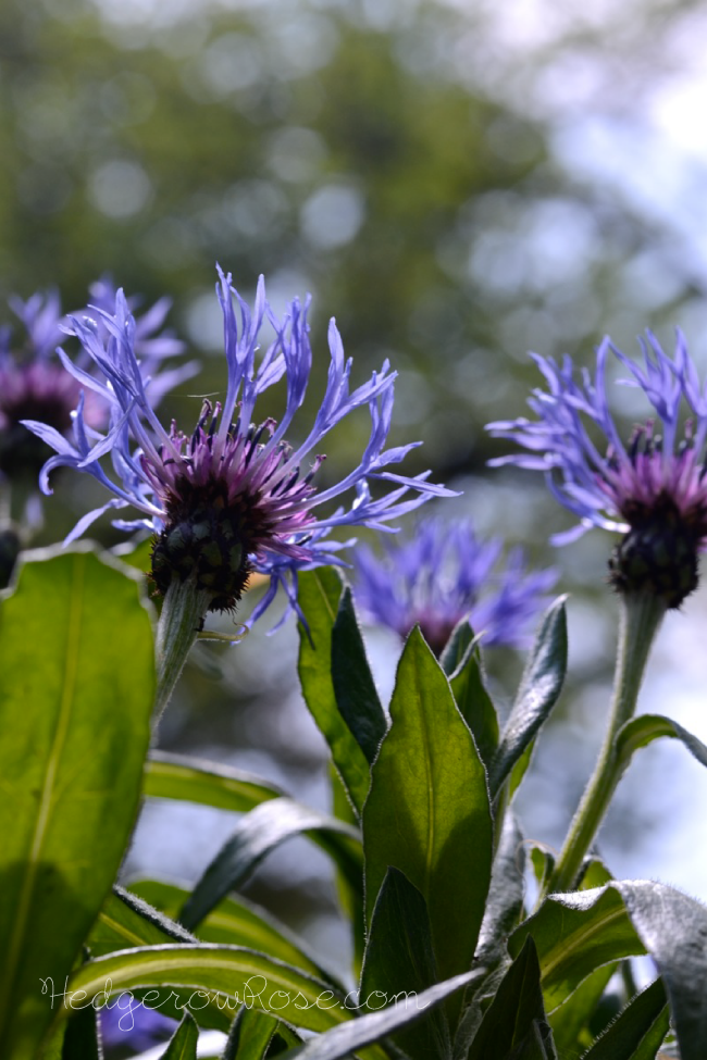 Post image for Centaurea montana (Mountain Bluet)