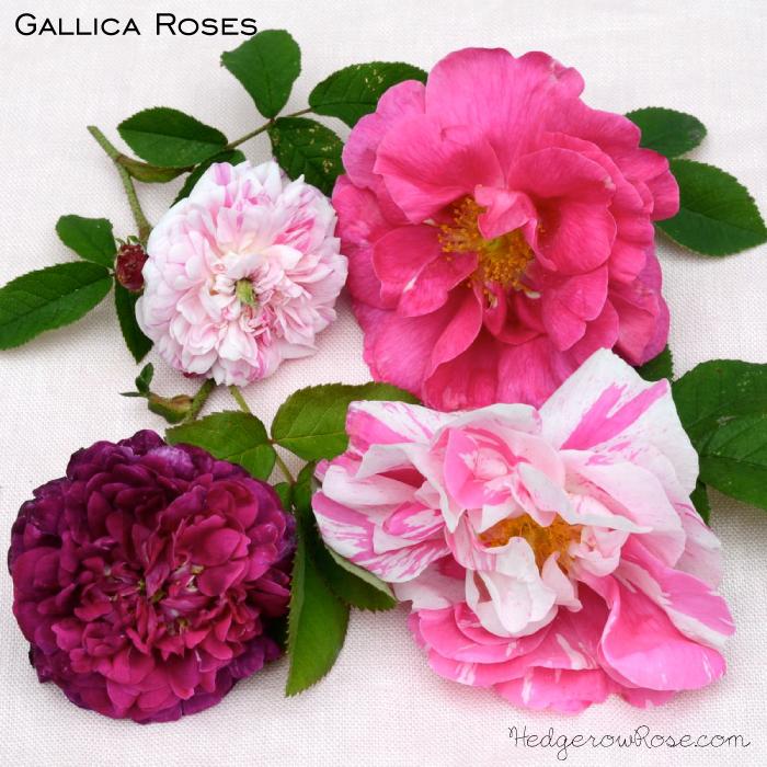 gallica-roses