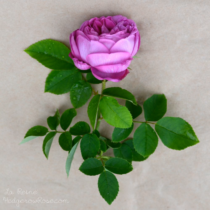 Post image for Growing 'La Reine' Hybrid Perpetual Rose