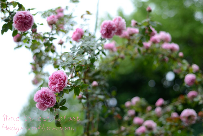 madame-ernest-calvat-bourbon-rose-in-may