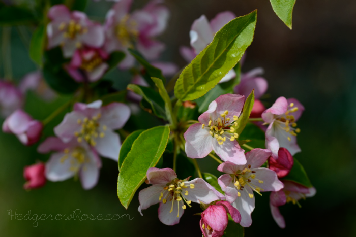 Post image for Flowering Crabapples