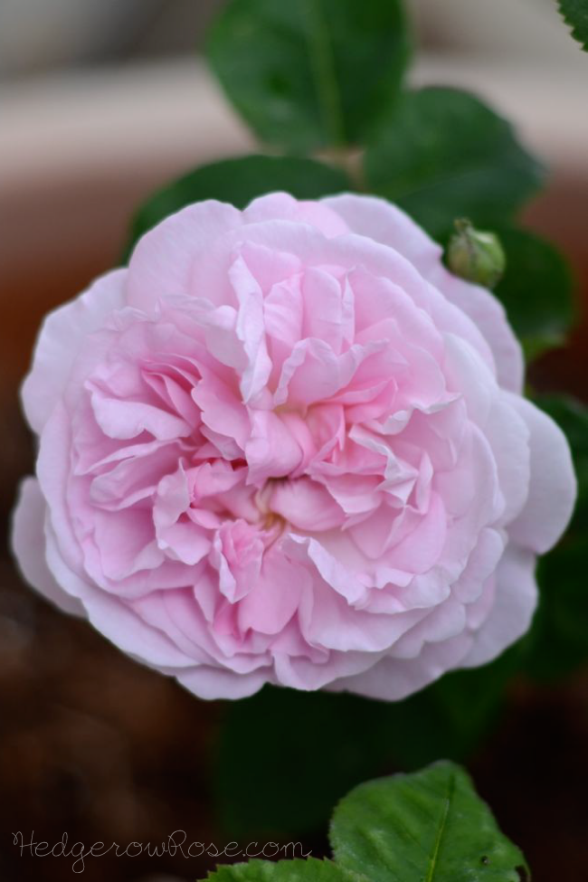 "Post image for Growing ""Fantin Latour"" Centifolia Rose"