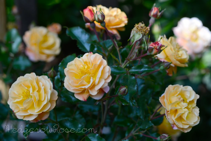 Post image for Introducing 'Flower Carpet Amber' Rose