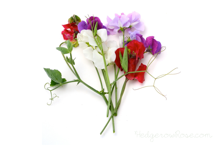 Post image for Growing Knee-High Blend Sweet Peas (Lathyrus odoratus)