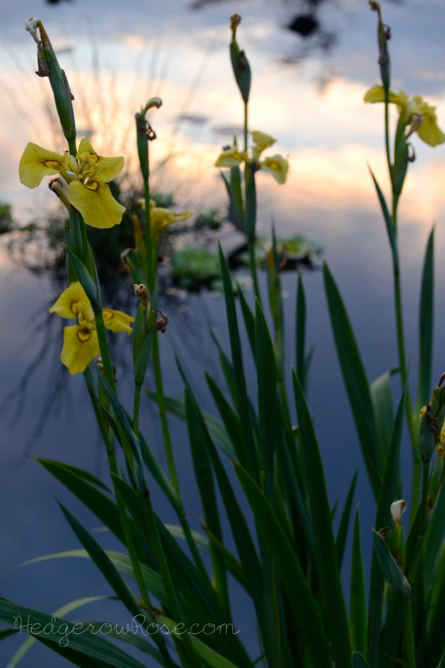 yellow-flag-iris