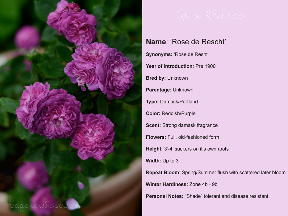 Post image for Growing 'Rose de Rescht' Portland Damask Rose