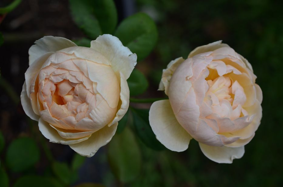 Post image for Introducing 'Jude the Obscure' David Austin Rose