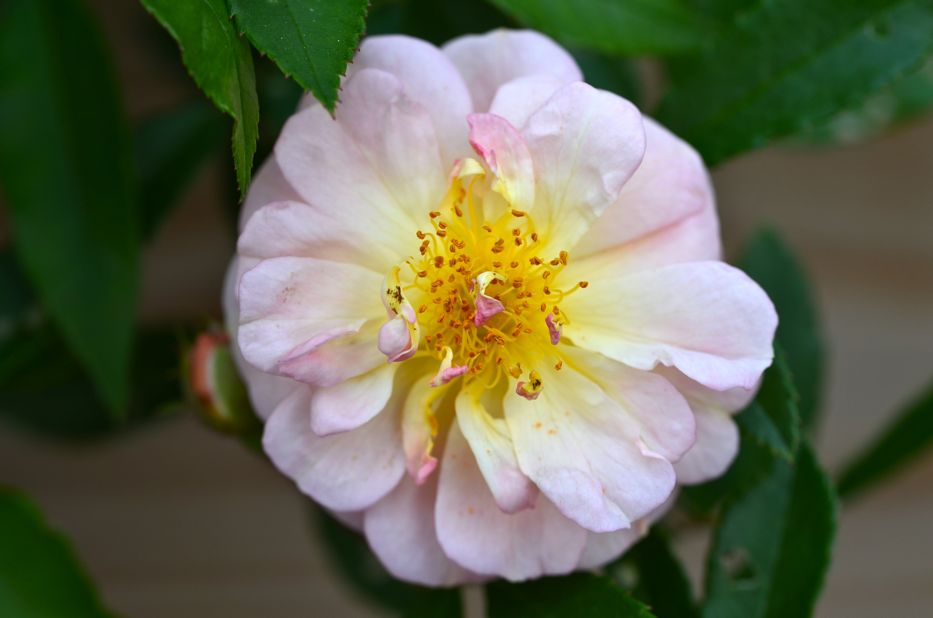 Post image for Introducing 'Ghislaine de Féligonde' Hybrid Multiflora Rose