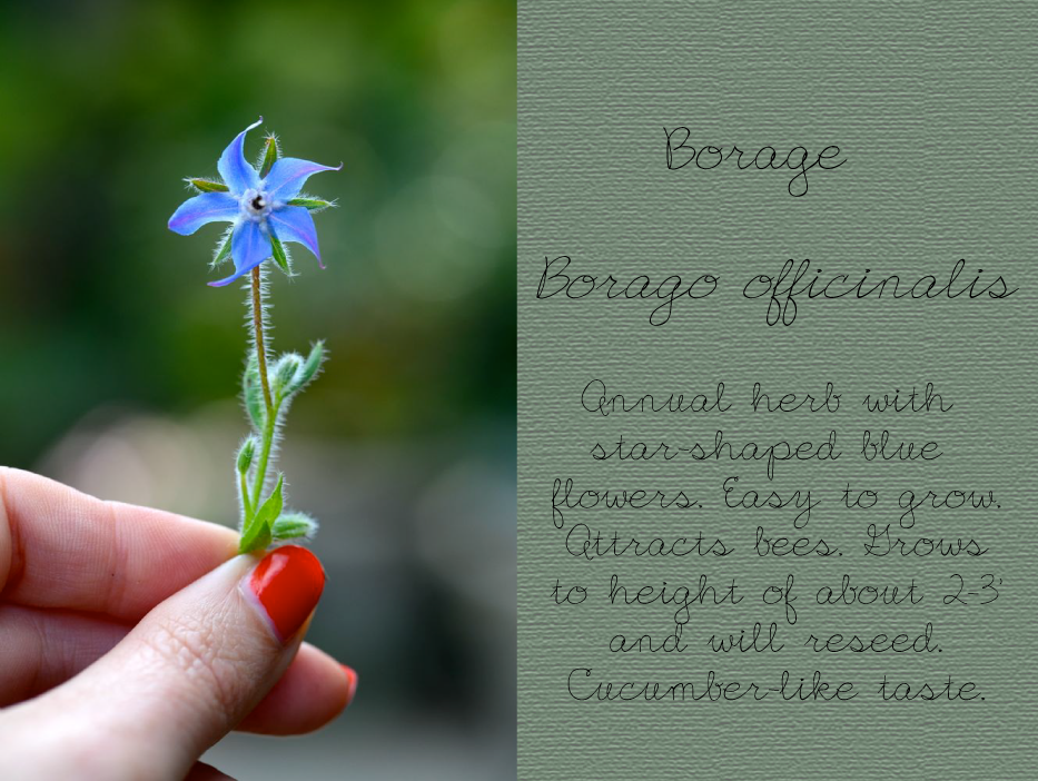 Post image for Borage, Borago officinalis