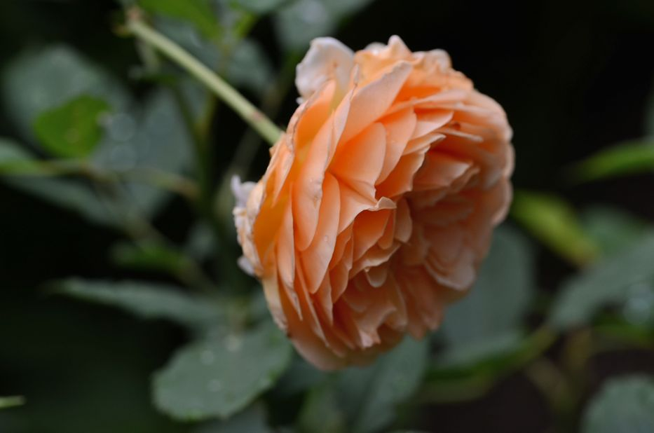 Post image for The one 'Crown Princess Margareta' blossom of the year