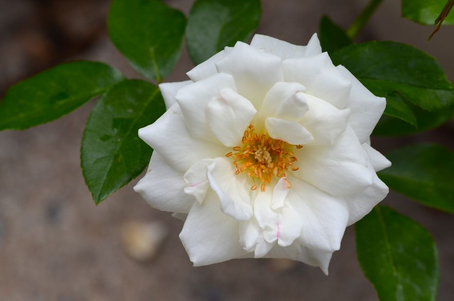 Post image for Revisiting 'Iceberg' Floribunda Rose
