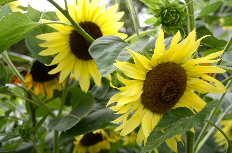 Post image for Growing Helianthus annuus 'Flash Blend' Sunflowers