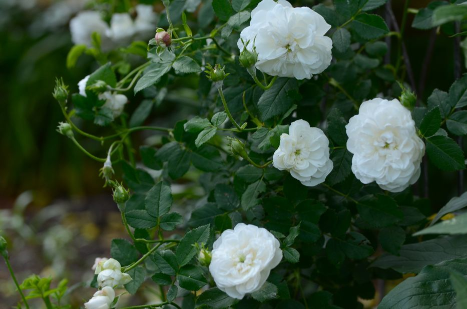 Post image for Growing 'Madame Plantier' or 'The Bride's Rose'