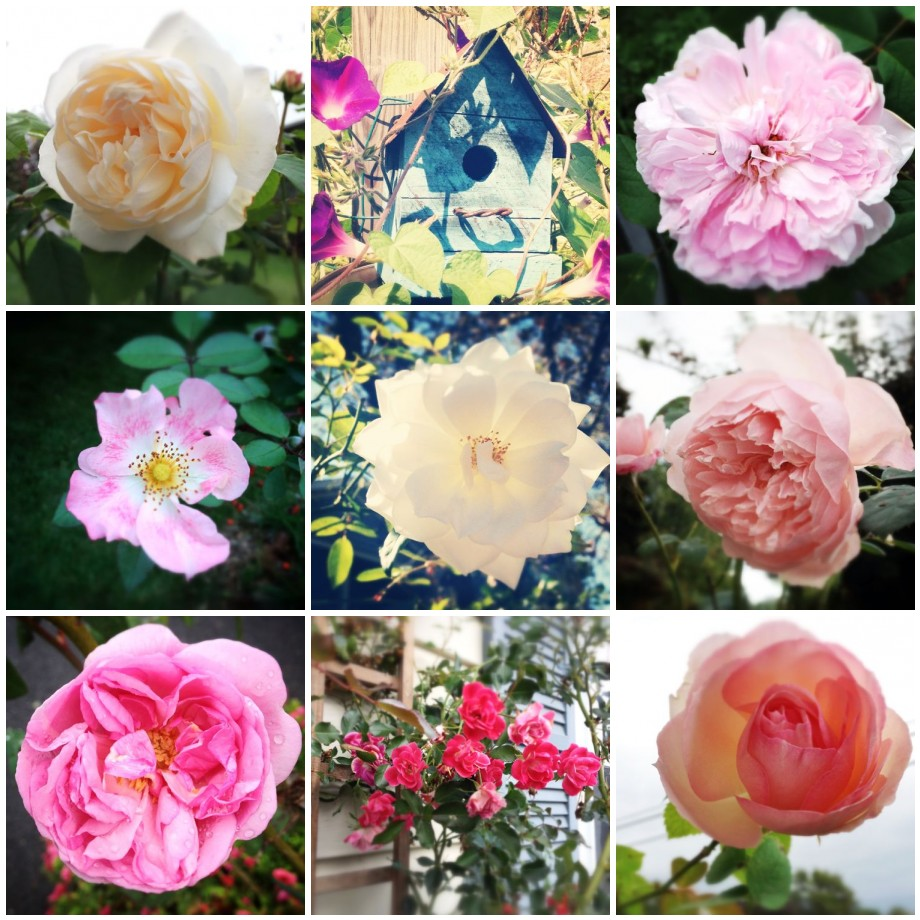 Post image for Instagram Roundup ~ A Collection of Roses and Bits of Home