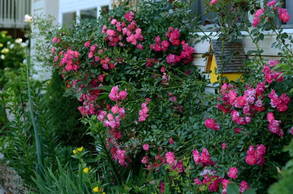 Flower Carpet Pink Supreme C | Hedgerow Rose