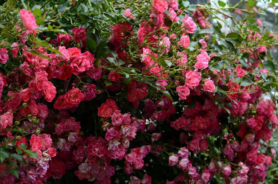 Red Carpet Rose Scientific Name An Explosion Of Pink