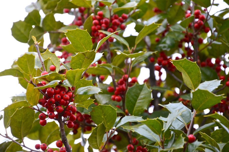Holly Berries | Hedgerow Rose