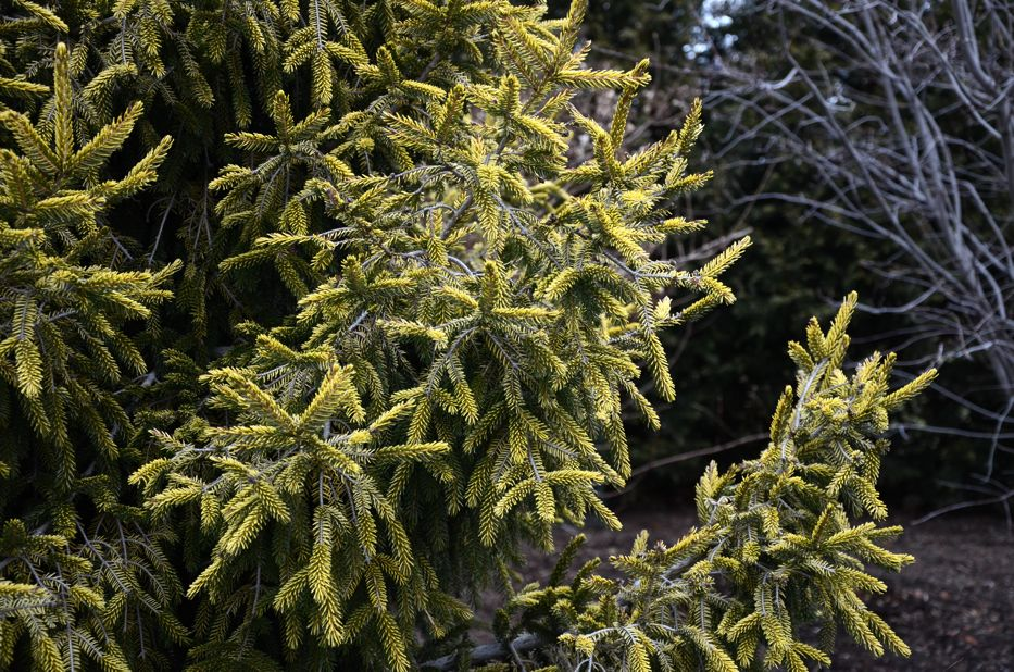 Picea orientalis Skylands | Hedgerow Rose