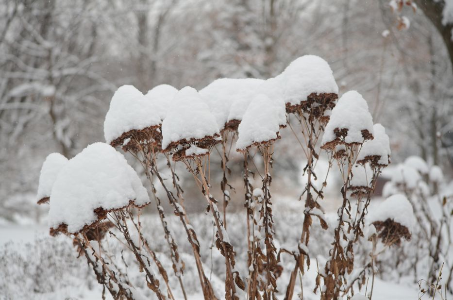 Snow covered sedum | Hedgerow Rose