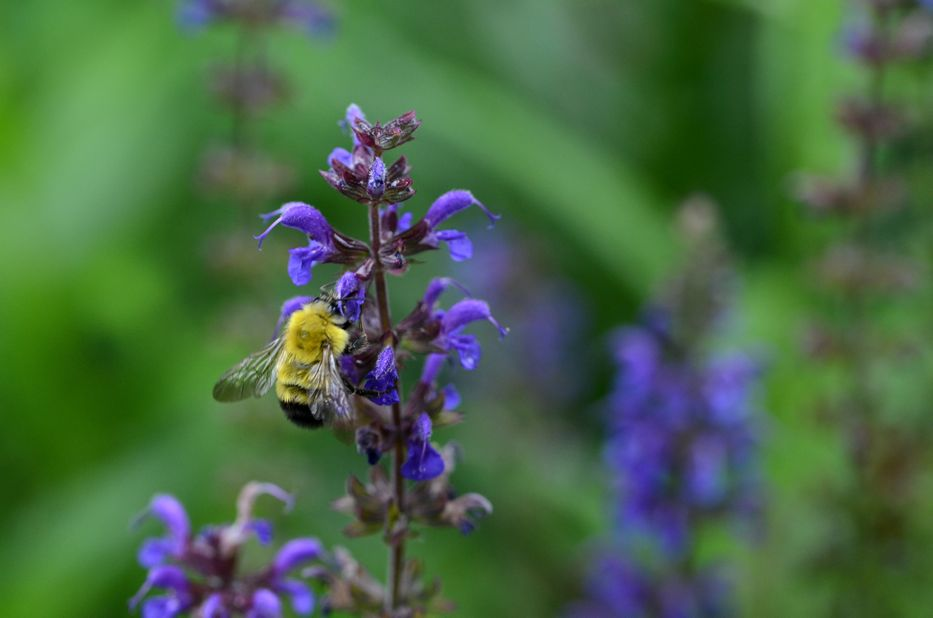 Bee on Salvia flowers