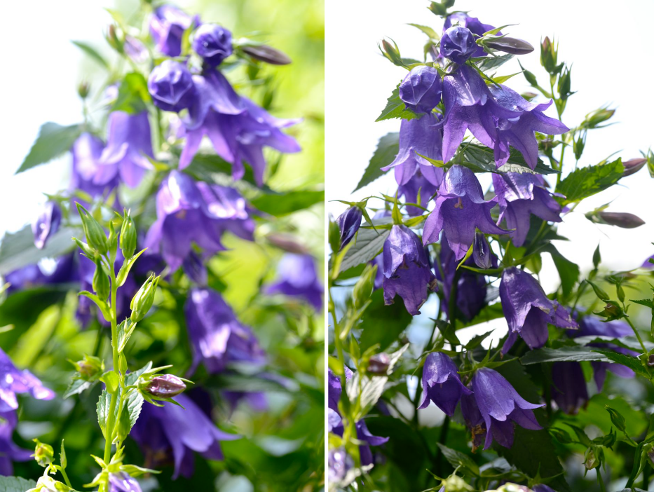 Post image for Growing Campanula