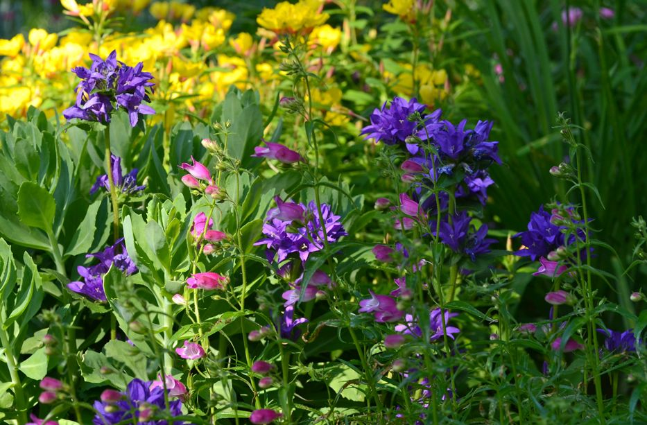 Campanula in a mixed border