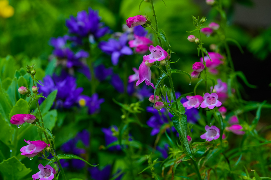 Post image for Cottage Garden Flowers ~ Penstemon