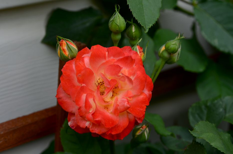 Pinata Floribunda Rose | Hedgerow Rose