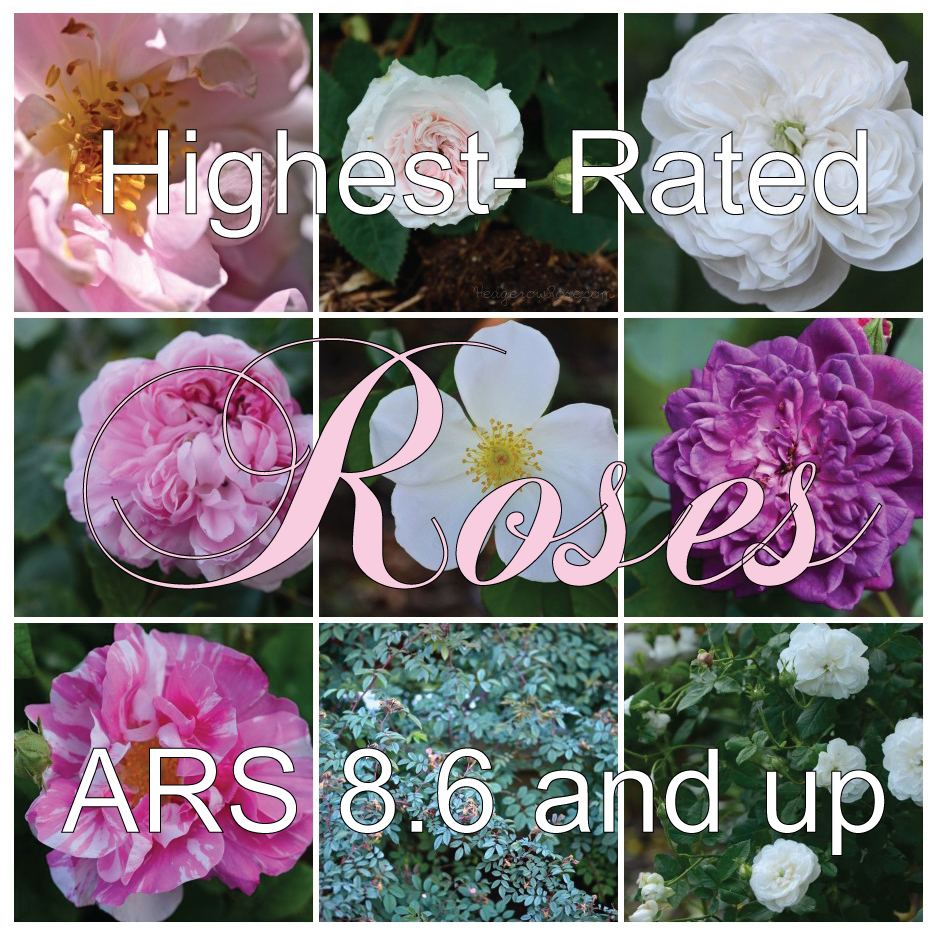 The Highest-Rated-Roses-_-Hedgerow-Rose