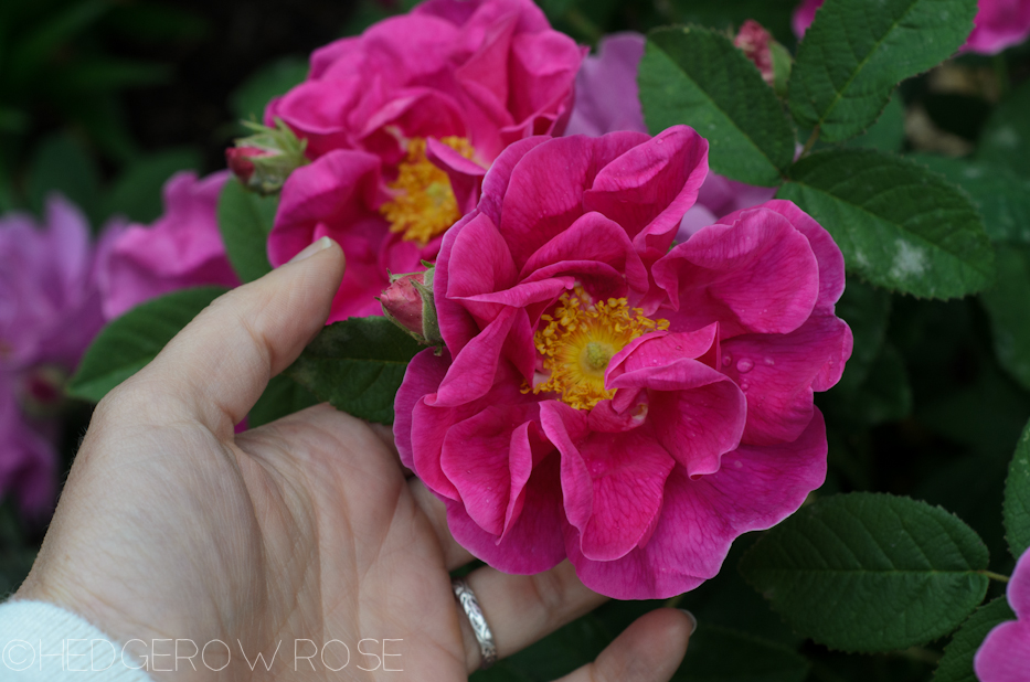 Apothecary's Rose in June 10