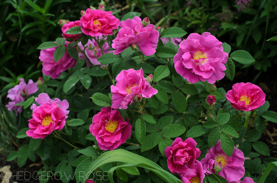 Apothecary's Rose in June 6