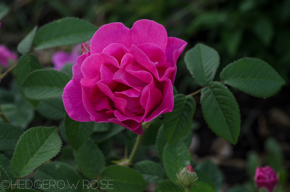 Apothecary's Rose in June