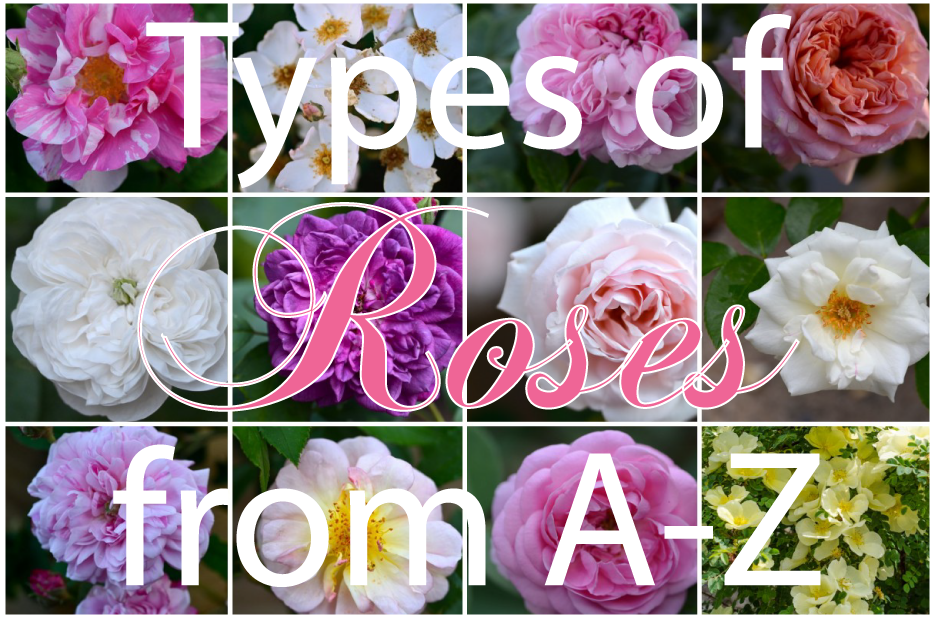 Post image for Types of Roses