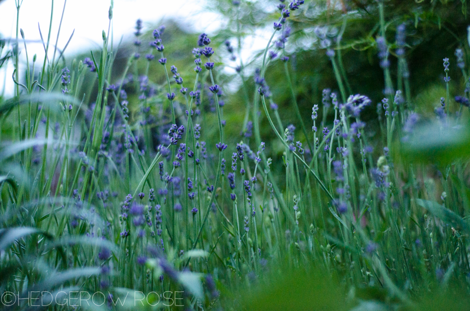 early lavender (at dusk)