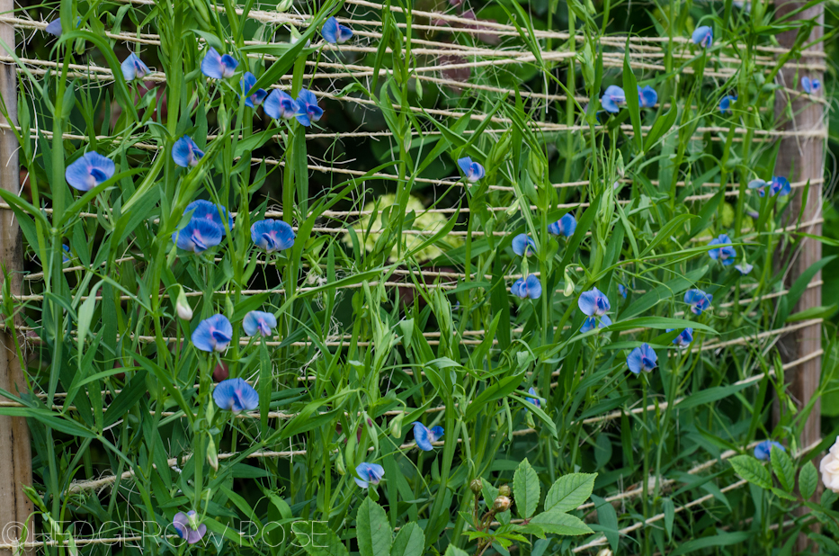 Image Result For Trellis For Sweet Peas