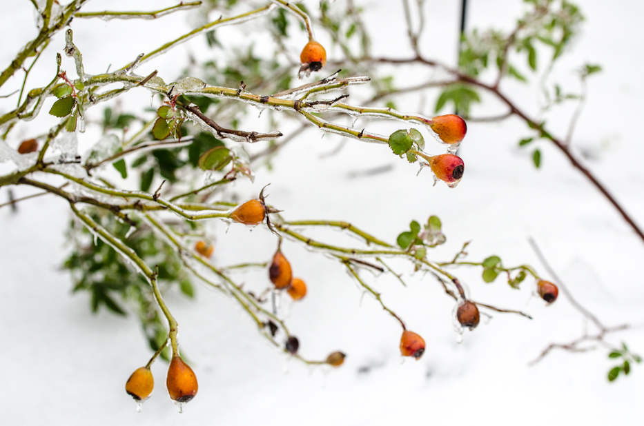 Reine Victoria ice covered rosehips