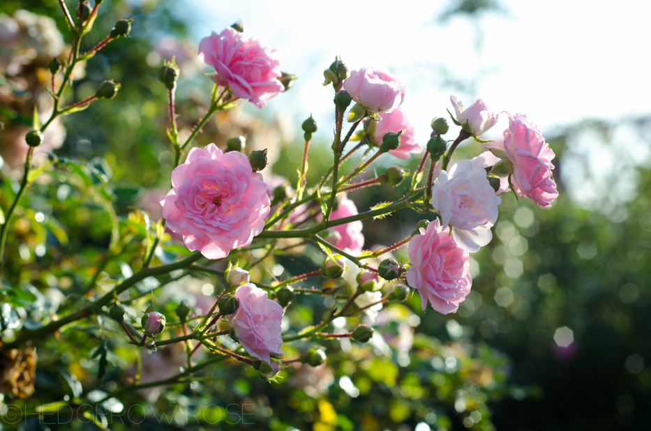 The Fairy Polyantha Rose 1 | Hedgerow Rose