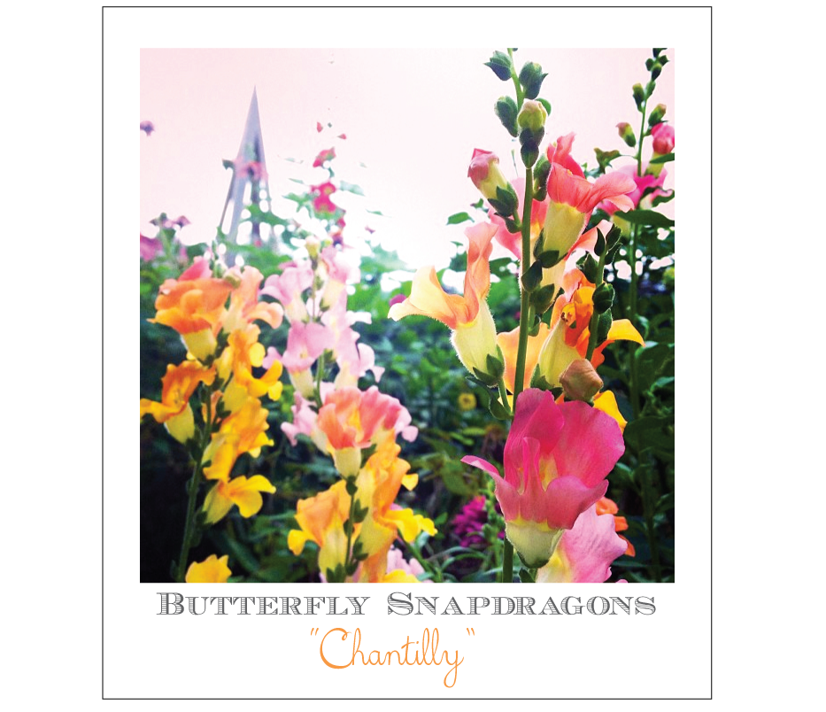 butterfly-snapdragons-chantilly