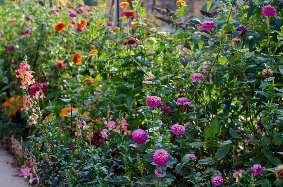 Growing Blue Point Zinnias And A Tip For A Quick And