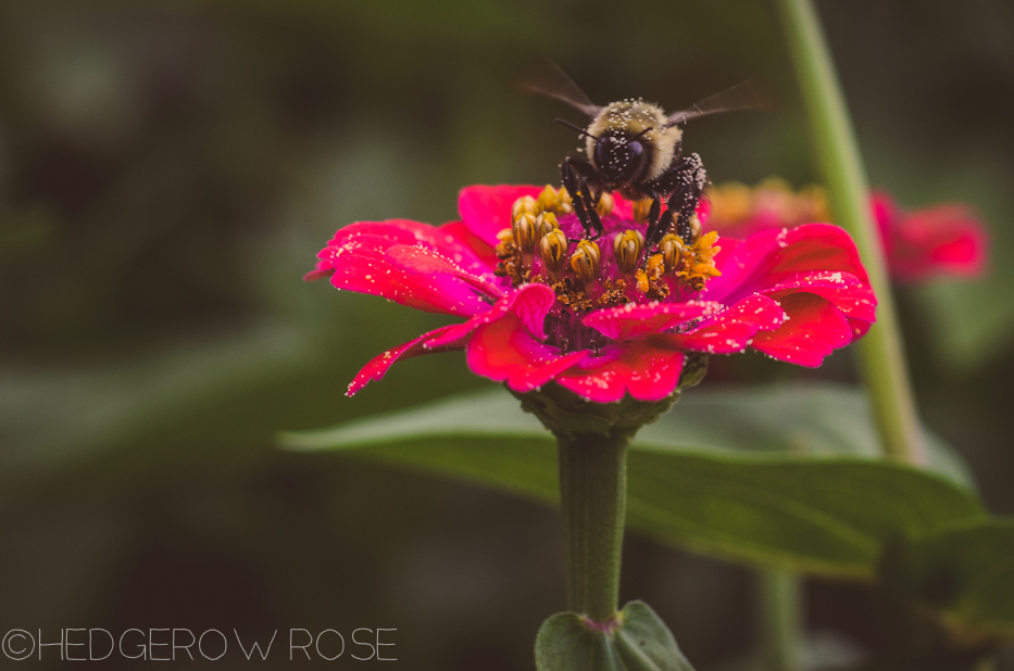 Zinnia and bee in August 2013 1
