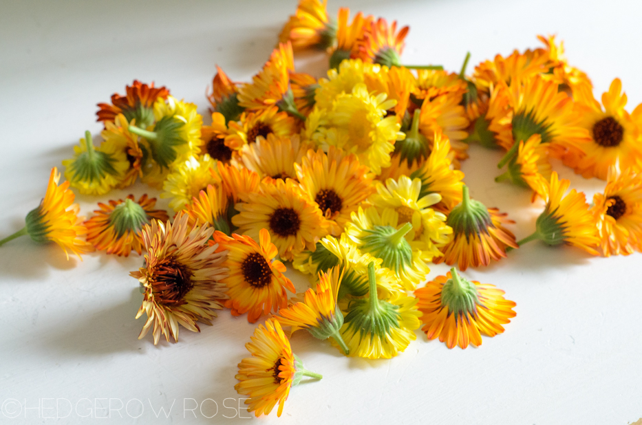 collection of calendula blossoms