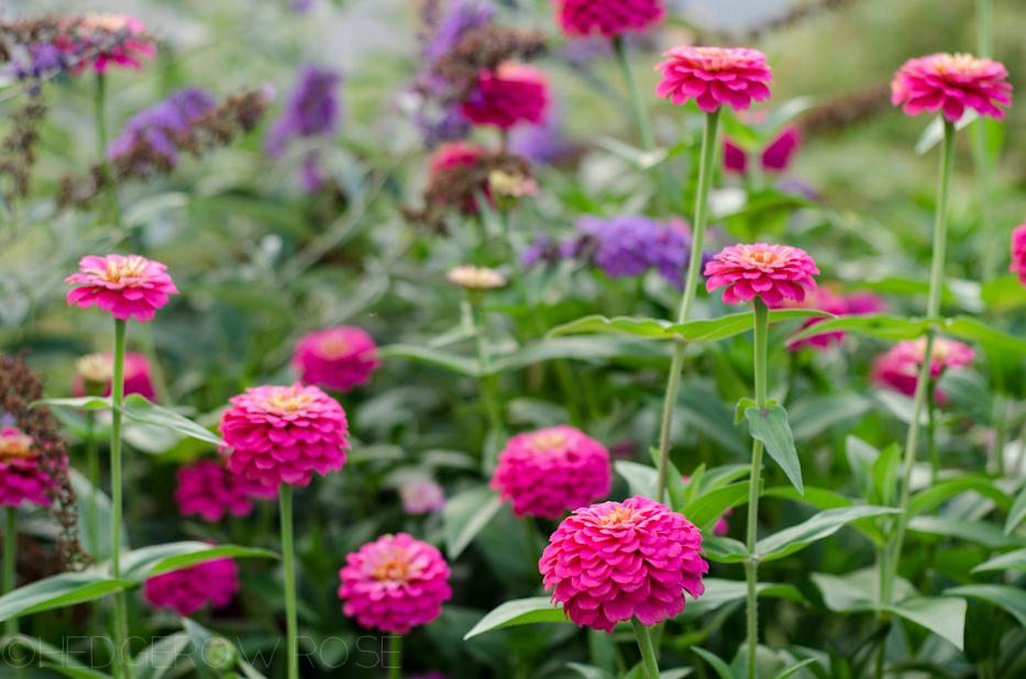 pink zinnias 9-12-1