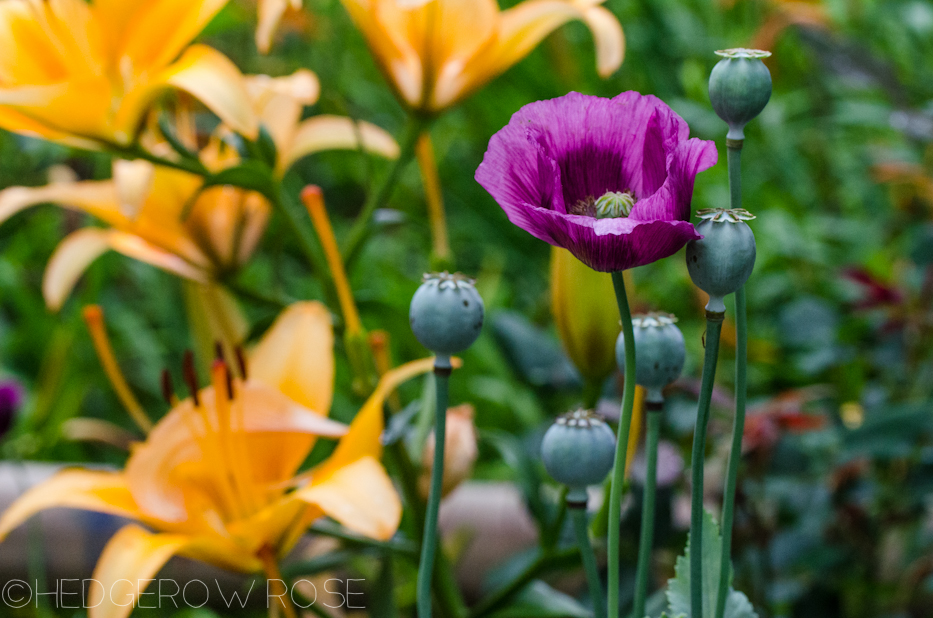 poppies and lilies