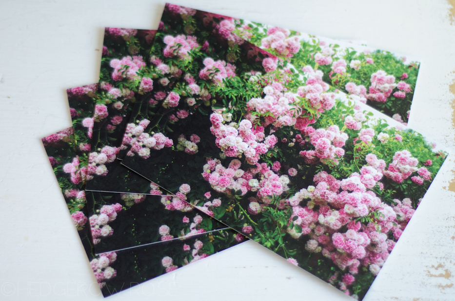 Elizabeth Park Rose Postcard Set 2