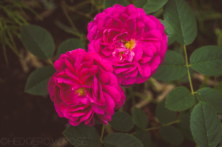'Red Moss' and 'Old Red Moss' via Hedgerow Rose-2