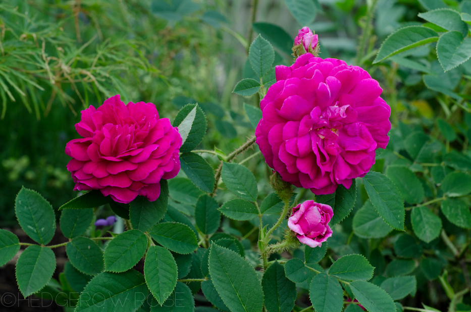 'Red Moss' and 'Old Red Moss' via Hedgerow Rose-7