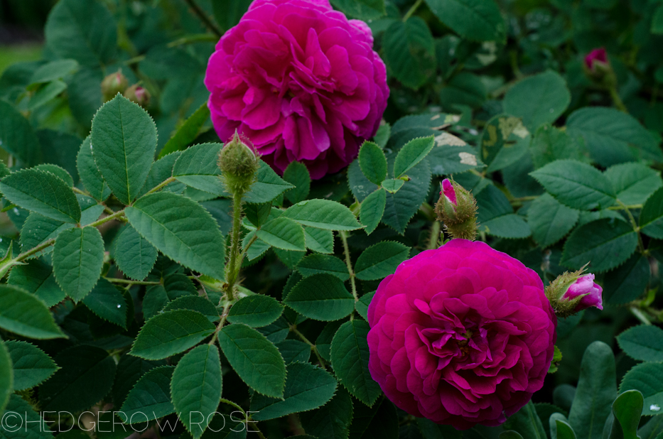 'Red Moss' and 'Old Red Moss' via Hedgerow Rose-9