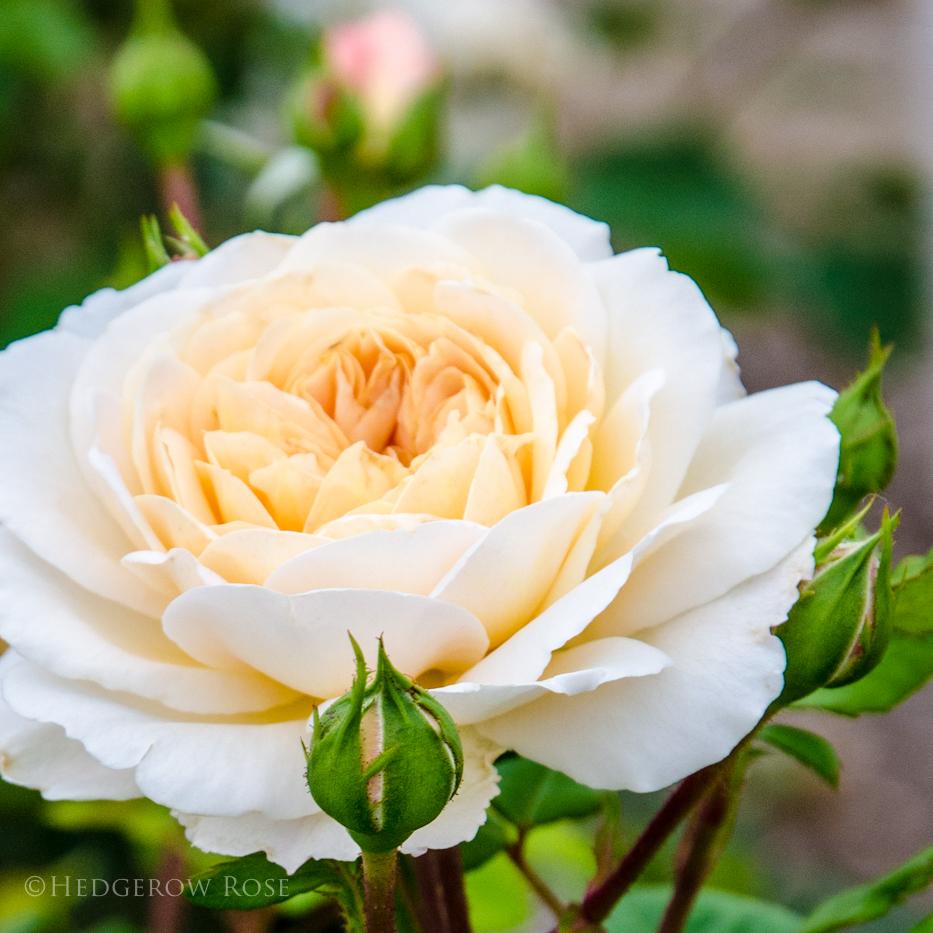 David Austin's Crocus Rose via Hedgerow Rose - 1