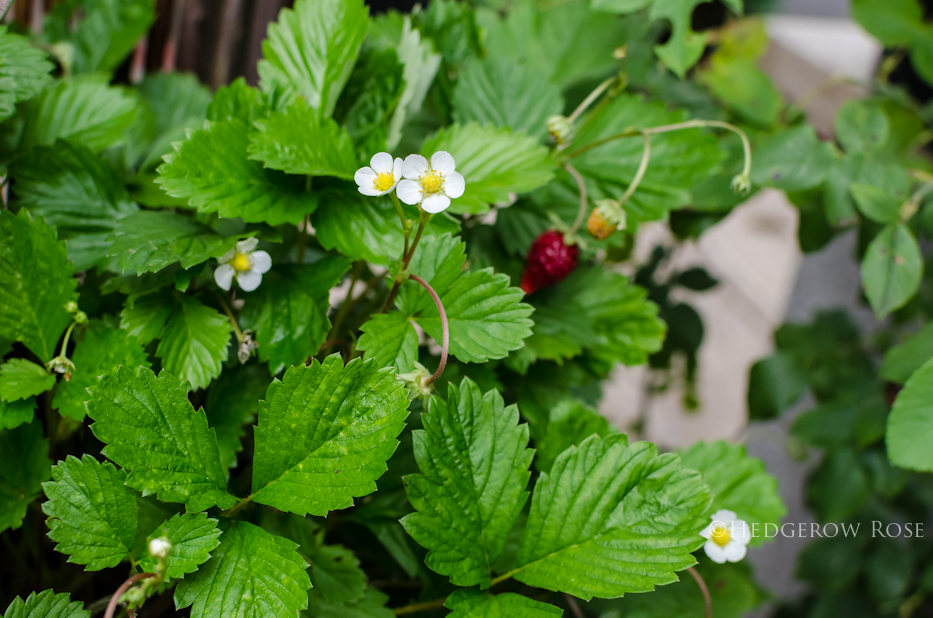 Mignonette Alpine Strawberries 2